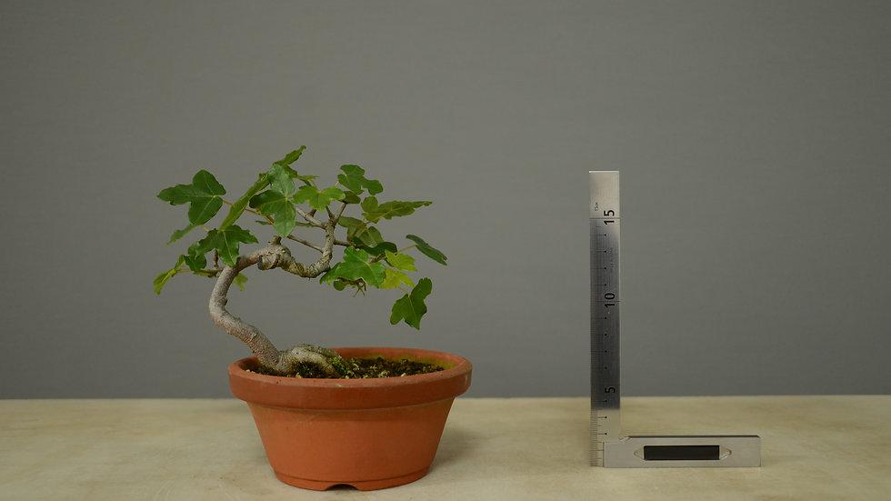 Acer monspessulanum #6