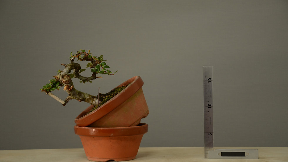 Cotoneaster horizontalis #118