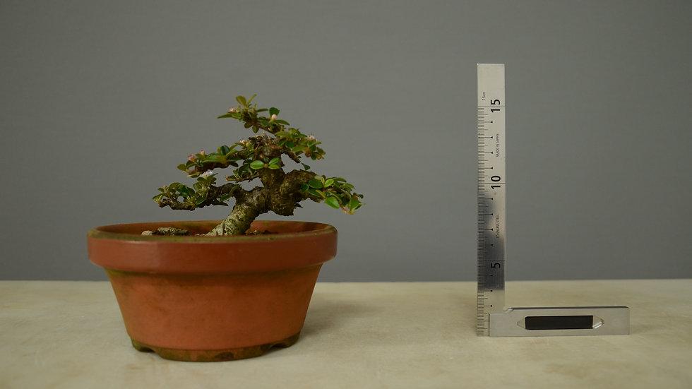 Cotoneaster horizontalis #124