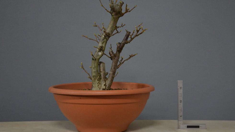 Corylus avellana #4