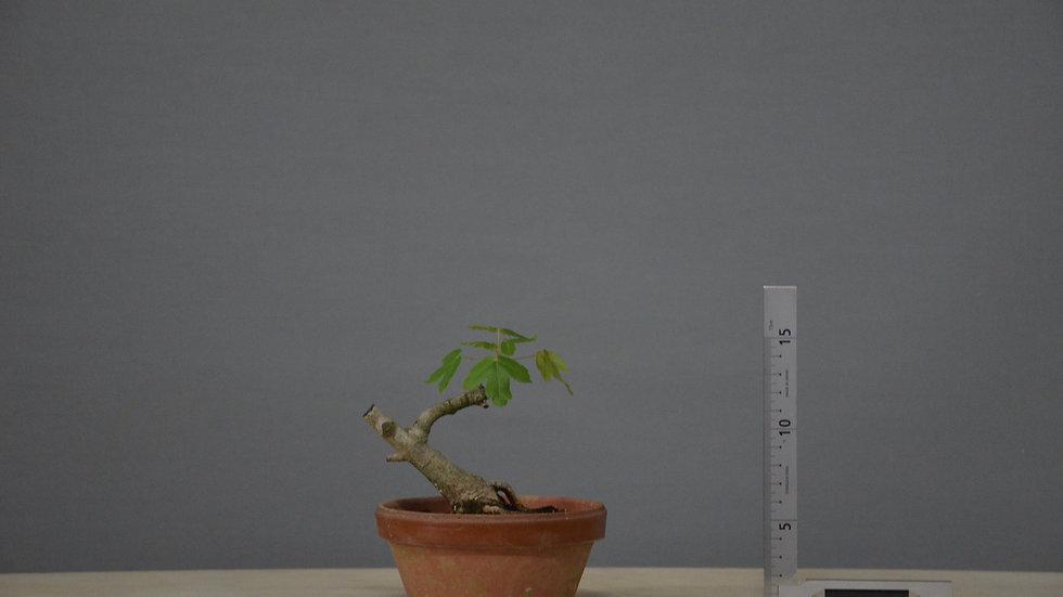 Acer monspessulanum #35