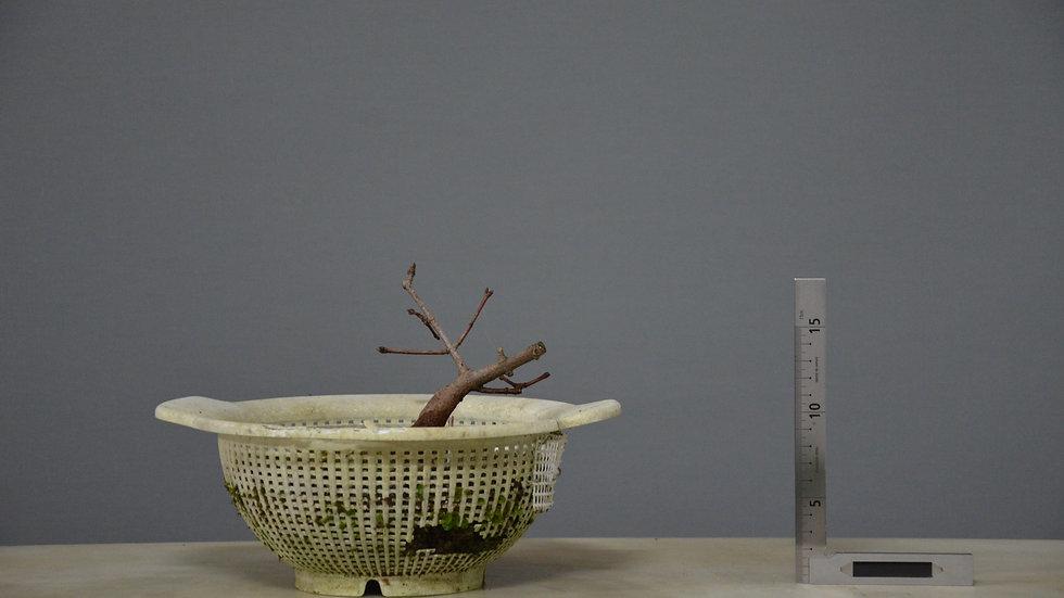 Acer monspessulanum #34