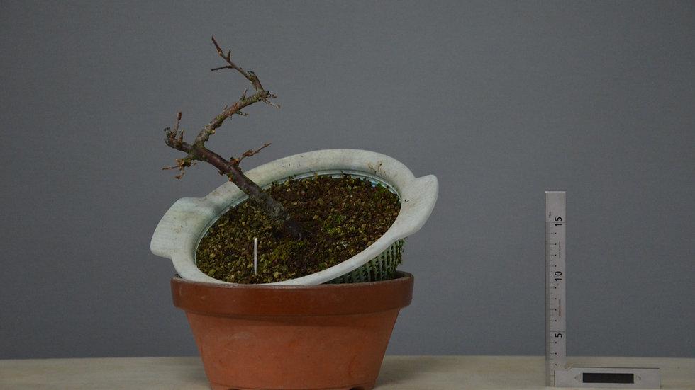 Prunus spinosa #22