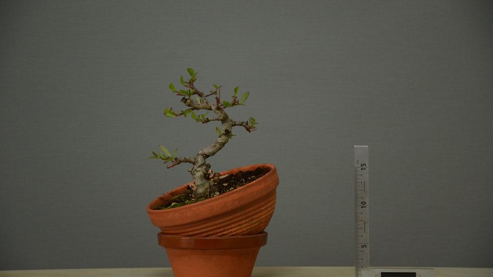 Salix atrocinerea #9