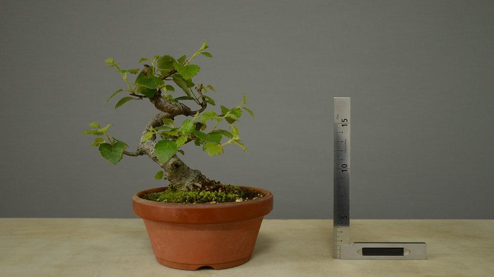 Betula pubescens #2