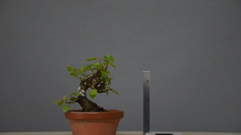 Betula pubescens #15