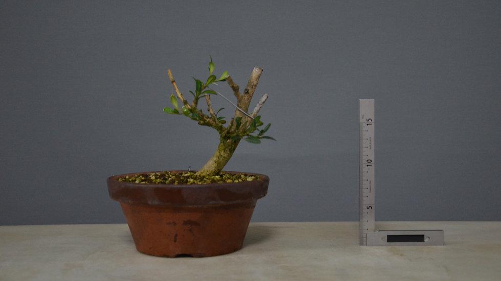 Buxus sempervirens #2