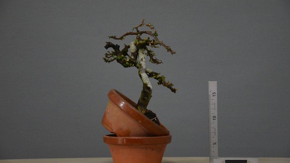 Cotoneaster horizontalis #33