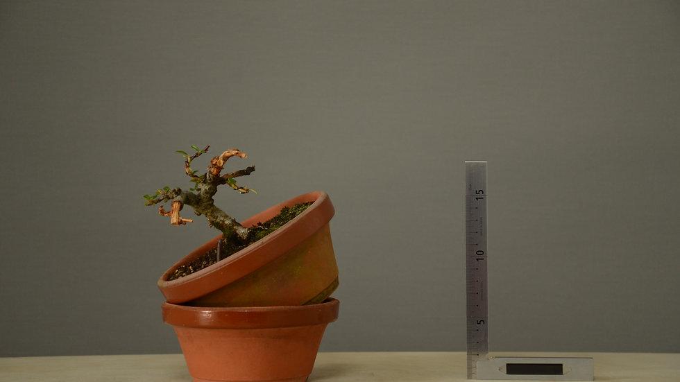 Cotoneaster horizontalis #39