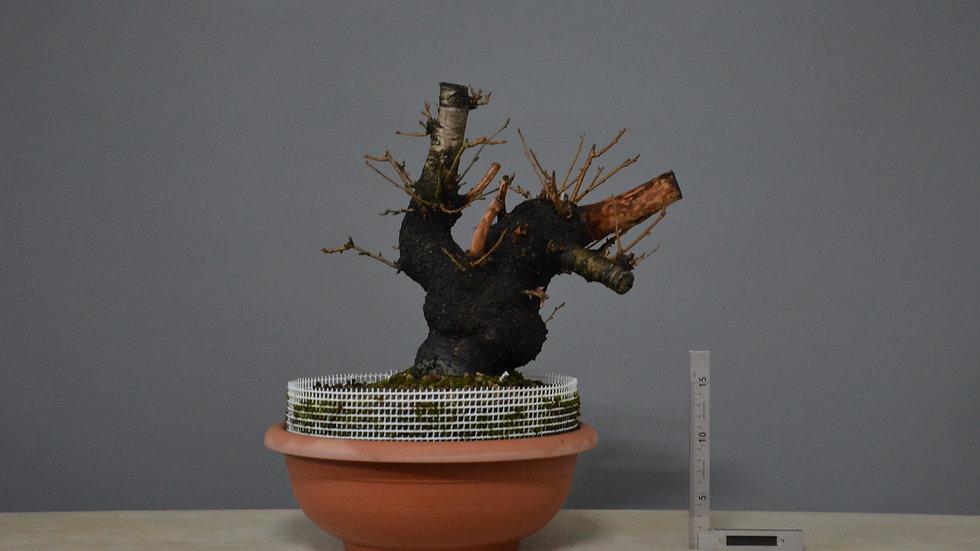 Prunus mahaleb #3