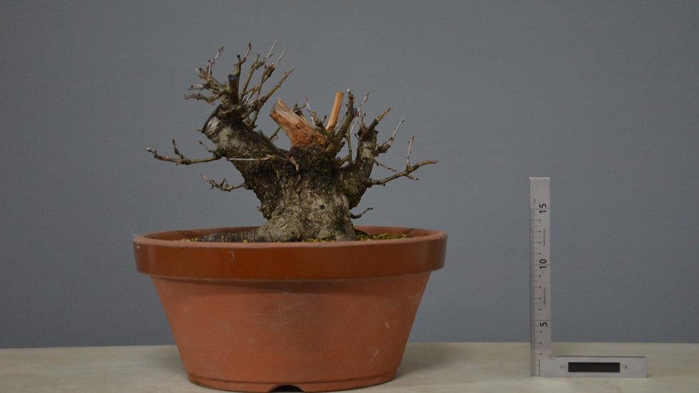 Prunus mahaleb #2