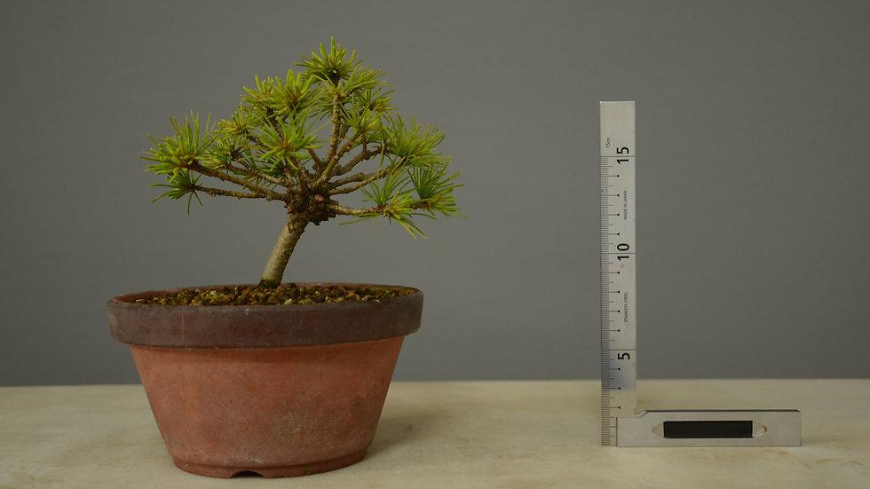 Pinus parviflora #5