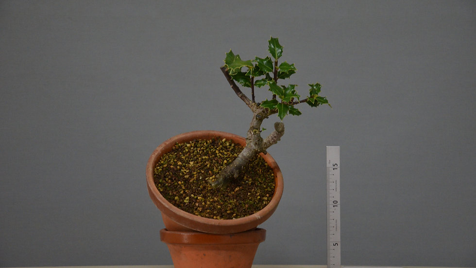 Ilex aquifolium #17