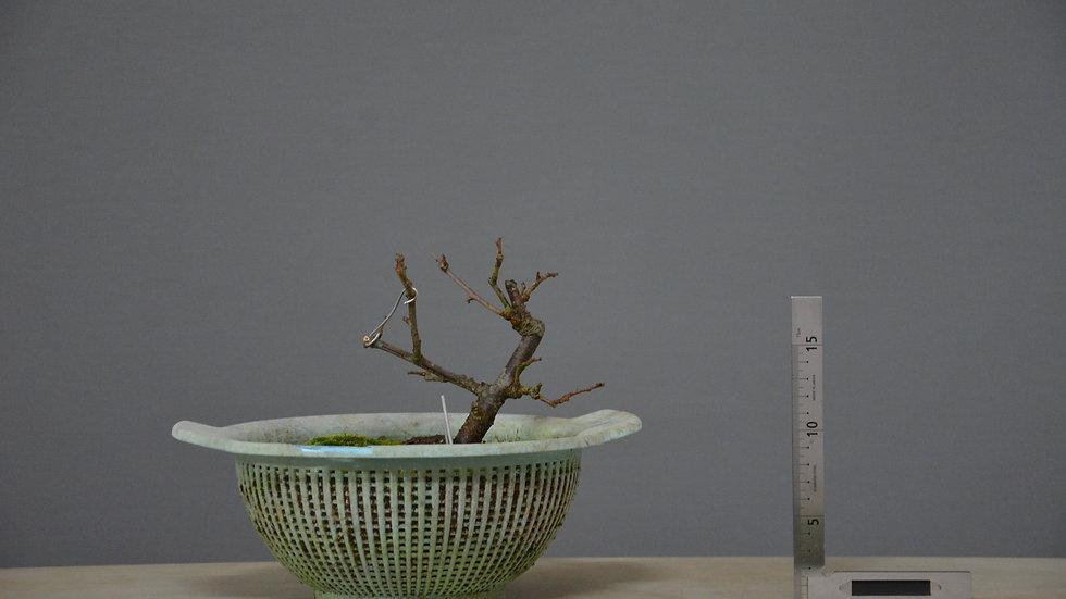 Prunus spinosa #26