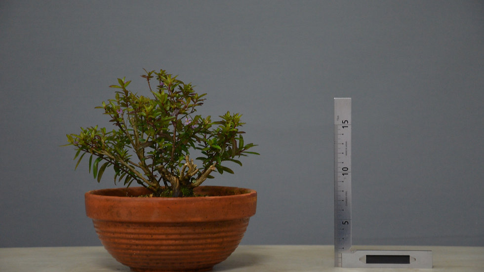 Cuphea hysopifolia #9