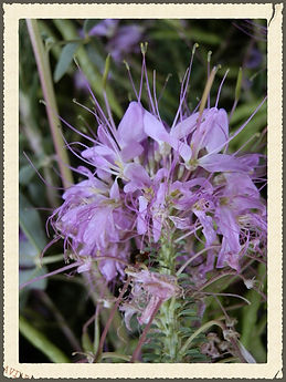 Rocky Mountain Bee Weed Organic Anasazi Piant