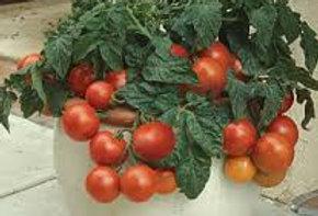 Cherry Tomatoes- price per plant!