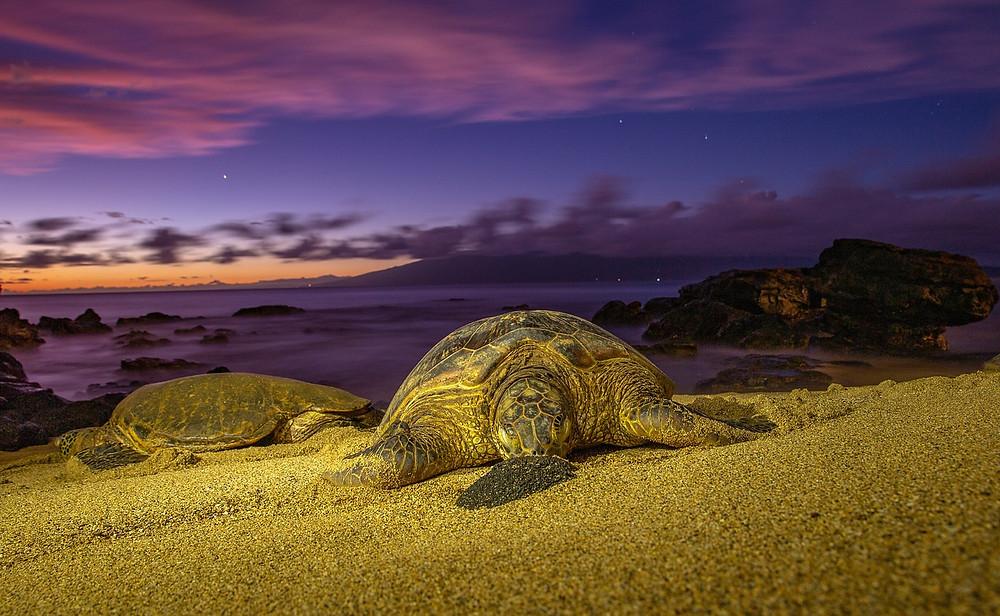 Hawaii Turtles