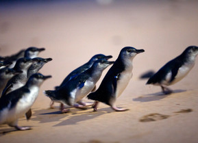 Penguin Parade Marches Into Our Homes
