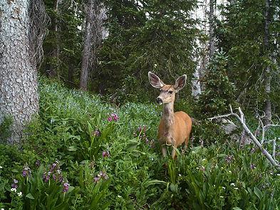 mule-deer-2069456.jpg