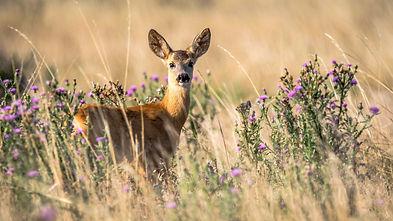 roe-deer-2615377.jpg