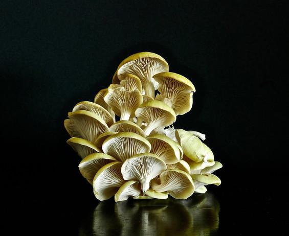 Yellow Oyster Mushrooms