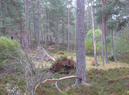 Sat 13 Oct - Walk: Grantown on Spey – walk in Anagach Woods