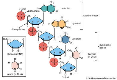 Portion-polynucleotide-chain-acid-inset-