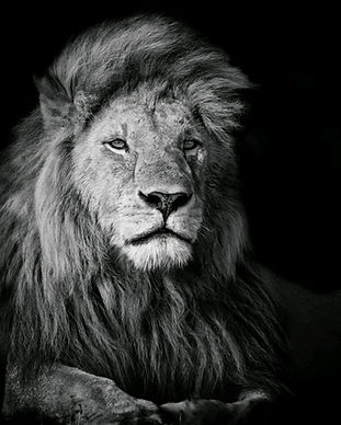 317230-photography-animals-lion.jpg