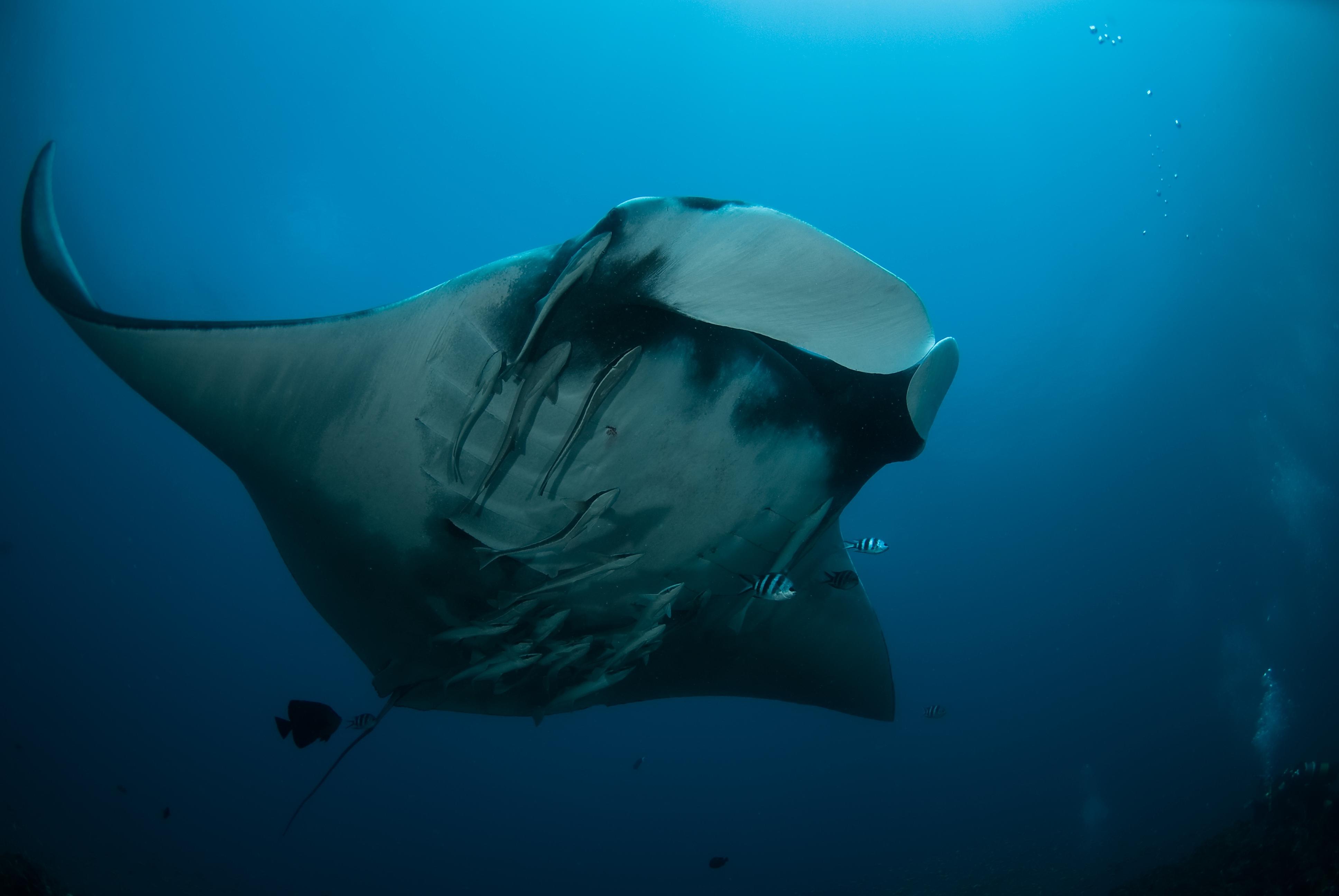 Manta underside