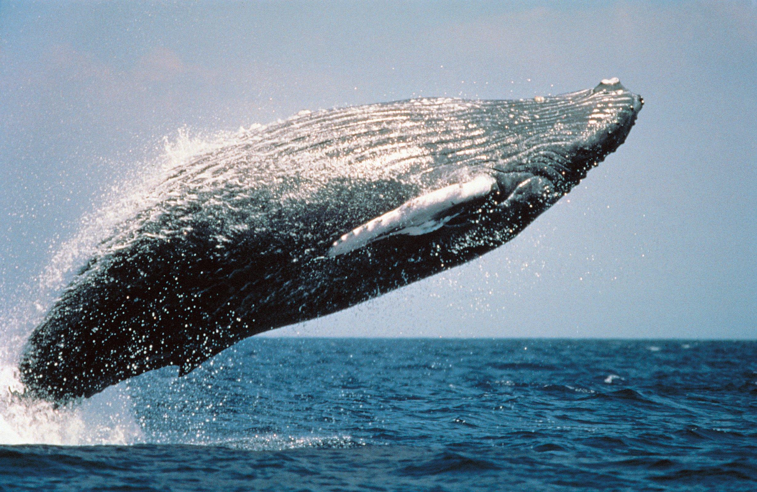 Whale-Humpback-Whale-Jump