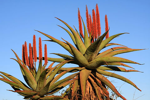 Aloe Ferox against blue sky.jpg