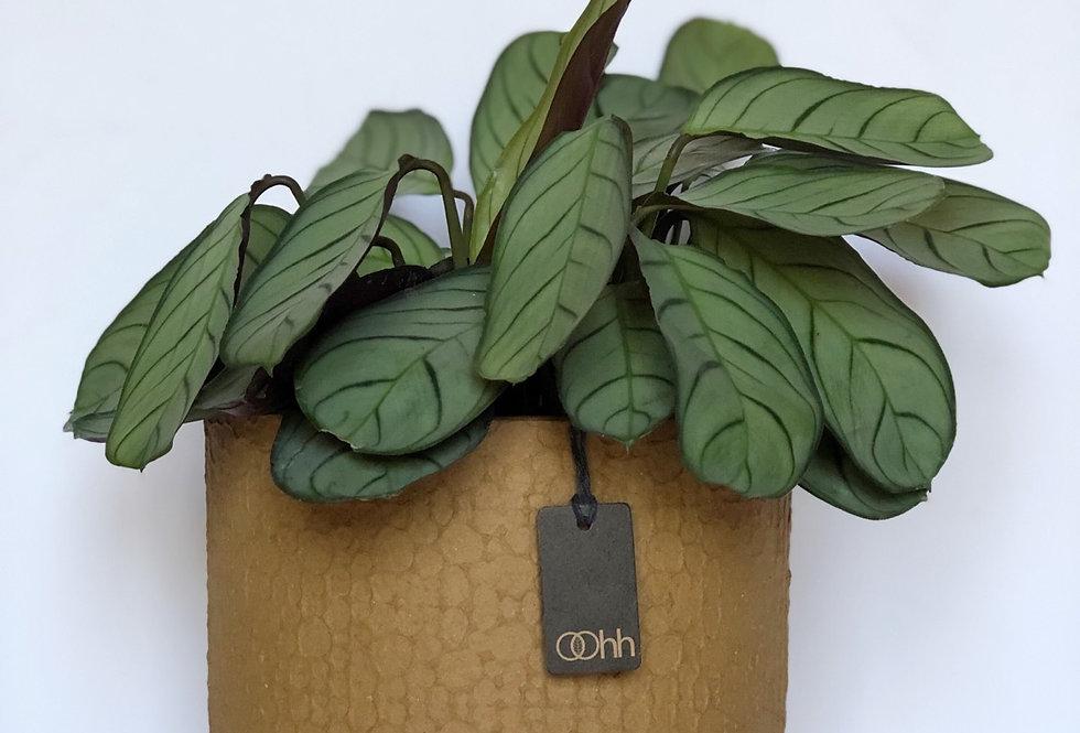 Fishbone Prayer Plant in an Ochre, Handmade Oohh Pot by Lubech Living