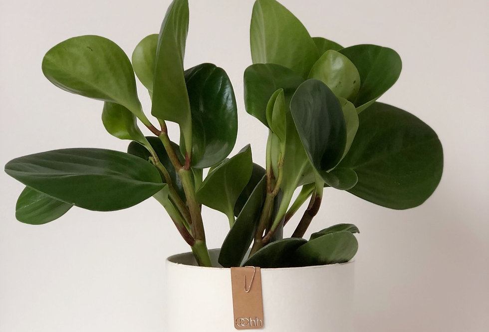 Baby Rubber Plant in a White, Handmade Oohh Pot by Lubech Living