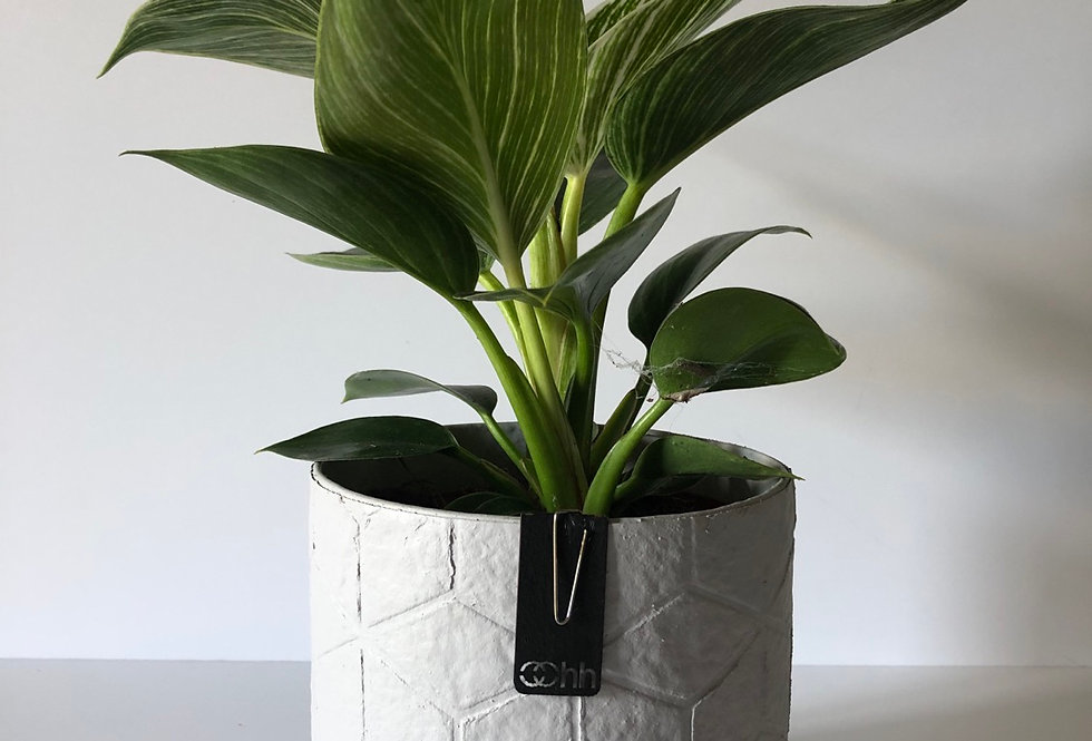 Philodendron Birkin 'White Wave' Plant in a Handmade Oohh Pot by Lubech Livi
