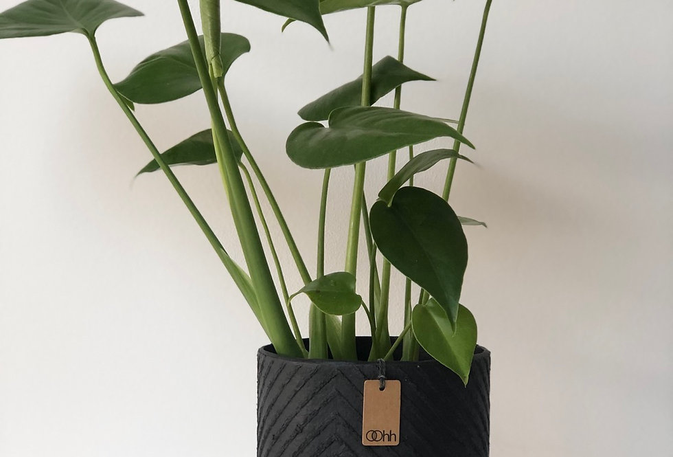 Swiss Cheese Plant in a Black, Handmade, Modern Oohh Pot by Lubech Living