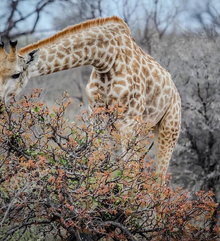 Giraffe Eating Tree