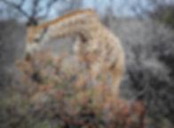 Giraffe Eating Tree