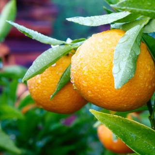 citrus orchard.jpg