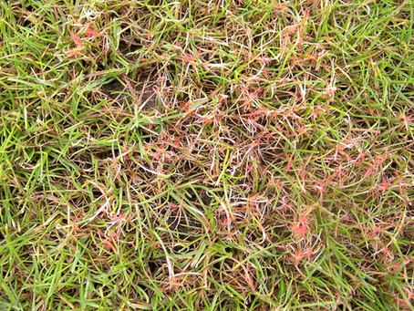 Common Lawn Diseases for Virginia