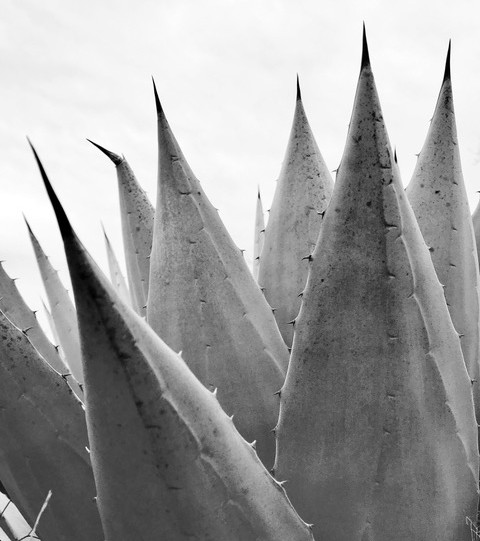 Agave in Winter