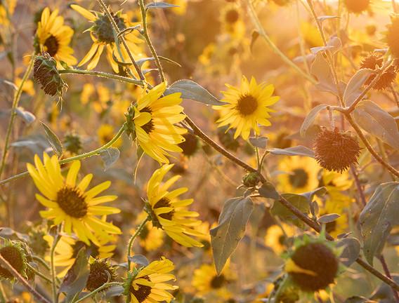 Sunshine Sunflowers.jpg