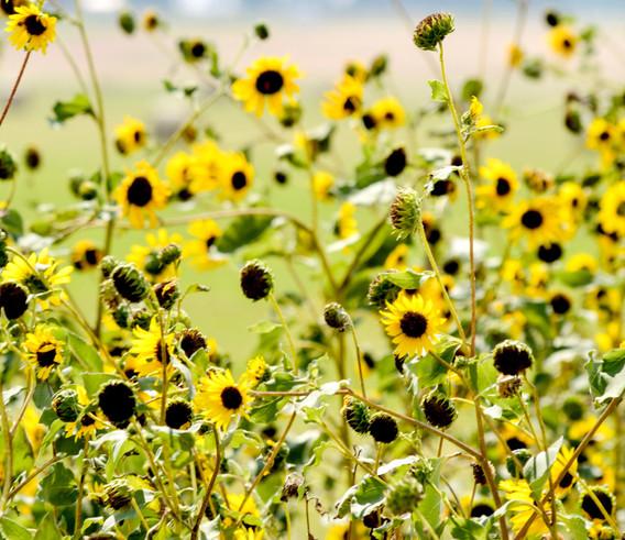 Sunflower Social
