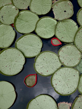 JW190713, Giant Water Lillies.jpg