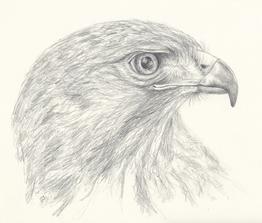 Raptor sketch (2021)