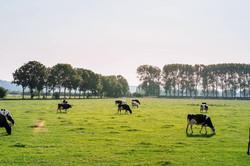 Cattle in Pasture_edited