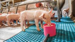 piglets-eating-c-no-credit