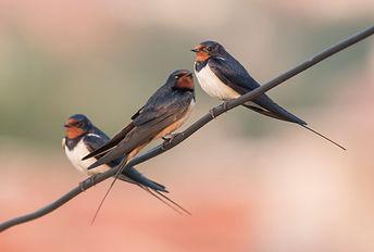 rondini swallow-song.jpg