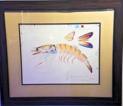 Scientific Study of a Shrimp watercolor,