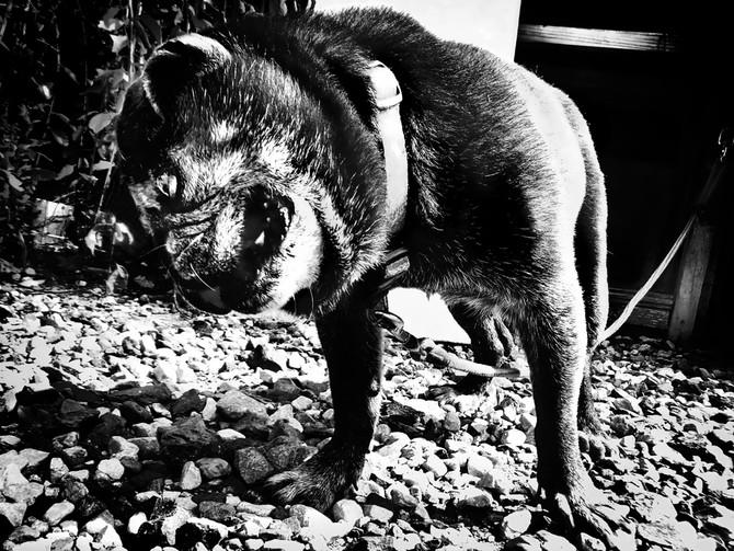 犬の戦士団SAKURAその後